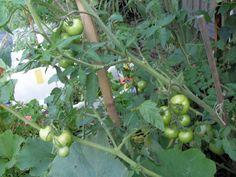 tomatoes ripen on vine