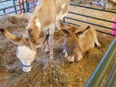 Miniature Donkeys      https://www.youtube.com/user/Viewwithme