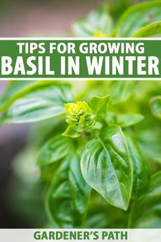 If you love having fresh basil to use in your cooking year round but your plants die every fall, our tips can help to keep your basil alive through the winter. It's a lot easier than you might think! Get ready for homemade pesto and more, all year long. Read more on Gardener's Path. #basil #growyourown #gardenerspath