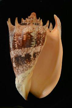 帝王渦螺 Imperial Volute Aulica imperialis 菲律賓