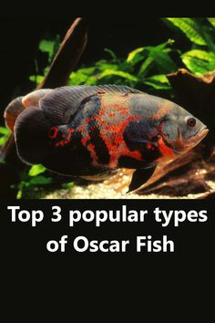 Oscar fish are among the most beautiful fish found in the tropical region of the world. Awesome looking and kinda dangerous fish in freshwater aquariums. Saltwater Aquarium Beginner, Saltwater Tank, Tropical Fish Aquarium, Freshwater Aquarium Fish, Fish Aquariums, Tiger Oscar Fish, Dangerous Fish, Fish Tank Design, Aquarium Backgrounds