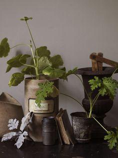 scented geraniums debi treloar