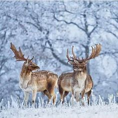 Fallow deers in wintry landscape Fallow Deer, Winter Solstice, Natural Wonders, Wonders Of The World, Sweden, Travel Inspiration, Moose Art, Around The Worlds, Beautiful