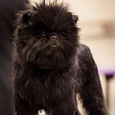 Wie heißt dieses Hund aus Deutschland mit einem ganz bestimmten Aussehen ? Affenpinscher  Der Affenpinscher ist eine der ältesten, fast unverändert erhaltenen Hunderassen Deutschlands. Er wurde ursprünglich als Rattler für die Ratten- und Mäusejagd gezüchtet. Der Name Affenpinscher stammt angeblich von dem affenartigen Gesichtsausdruck. Diese Hunde sind 25 bis 30 cm groß bei einem Gewicht von 4 bi