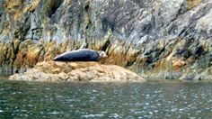 Lonely harbour seal.
