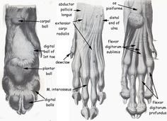 Dog Leg Skeletal Anatomy | Although it is very difficult to test for taste due to the fact that ...