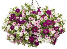Hall of Fame | Proven Winners-2 of each Supertunia® Flamingo Petunia, Supertunia® White Petunia and Superbena® Royale Plum Wine