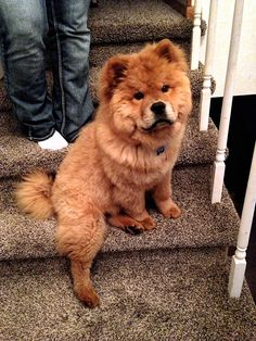Chow Chow puppy! I want one!