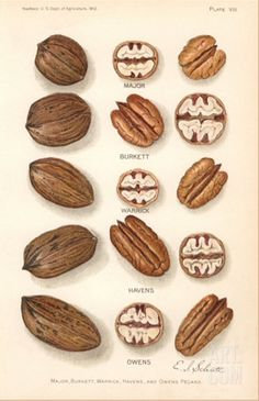 Varieties of Pecan and Walnut Stretched Canvas Print at Art.com