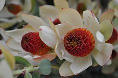 Pom Pom -California's Resendiz Brothers Protea in Fallbrook Shrubs, Serenity, Bloom, Deep, Plants, Flowers, Shrub, Flora, Hedges
