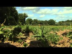 Les champs d'agriculture bio d'Yves Rocher à La Gacily en France.