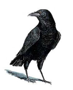 LMansmann walking crow