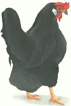 Lizzie Hall. leghorn chicken painting canvas prints
