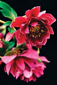 Helleborus x hybridus Winter Jewel Amethyst Gem - Zone 4, shady area - now can I find them in our Greenhouses?!!!