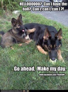 Go ahead.  Make my day. #german #shepherd #dogs