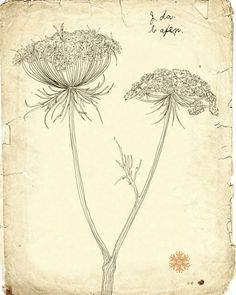 Queen annes lace - line drawing botanical illustration - giclee print