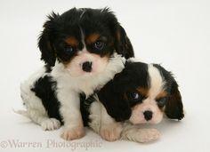 Tricolour Cavalier King Charles Spaniel pups