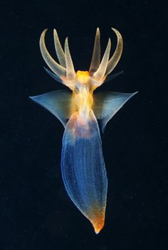 "Clione limacina, sea angelClione limacina, known as the naked sea butterfly, sea angel, and common clione, is a sea angel (pelagic sea slug) found from the surface to greater than 500 m (1,600 ft) depth.[2][3] It lives in theArctic Ocean and cold regions of the North Pacific and North Atlantic Oceans. It was first described by Martens in 1676 and became the first gymnosomatous (without a shell) ""pteropod"" to be described.[4]"