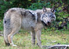 Wolf News: Potential evidence of at least one additional wild wolf in northern California - Protect The Wolves