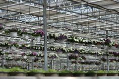 Hier können Sie unsere Ampelpflanzen in der Gärtnerei sehen. Sie werden mit einer automatischen Tröpfchenbewässerung gegossen. Photo And Video, Instagram, Glass House
