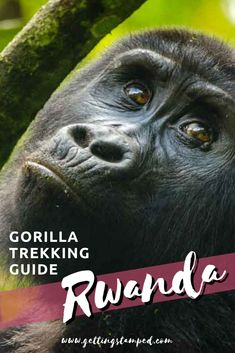 Tips for planning the ultimate gorilla trekking adventure. With only 880 mountain gorillas left in Rwanda, Uganda, and the Congo, this destination is a bucket list experience and adventure of a lifetime. Make sure to stop at Kigali Genocide Memorial to learn more about the country's past and how they have worked to move beyond it. Adventure travel in Africa. | Getting Stamped - Couple #Travel & #Photography #Blog | #Travel #TravelTips #TravelGuide #Wanderlust #BucketList #Rwanda…