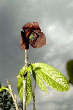 paw-paw flower (not edible)