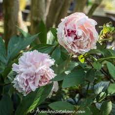 The Best Places To Buy Perennials, Trees and Shrubs Online - Gardening @ From House To Home Online Nursery, Trees And Shrubs, Order Plants Online, Garden Plants, Flower Gardening, Spring Hill Nursery, Gardening Zones, Perennials, Perennial