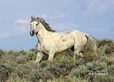 This gray stallion from the Adobe town Herd Area is trotting down the hill in the spring.