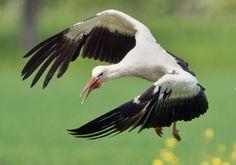 Stork in full flight