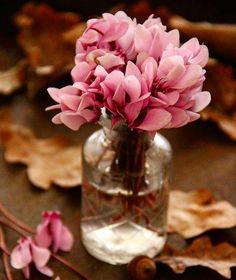 cyclamen with autumn leaves