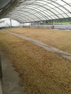 Around 7tons of parchment coffee beans after hulled and washed, now spread out on the drying floor