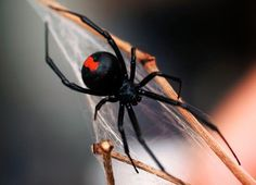 Beauty, Svelte and Elegant in Design--this is not I think the Black Widow because her red glyph is on her belly.  Don't know which species this is--but stunning nonetheless.