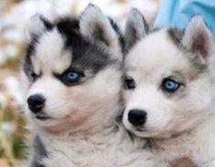 Pomsky puppies ∙•❣•∙ Pomeranian/Husky ∙•❣•∙ Designer breeds
