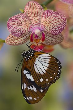 Butterfly and Orchid - by Darrel Gulin Photography