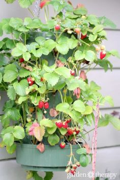 Hanging Strawberry Planter Bag with lots of berries