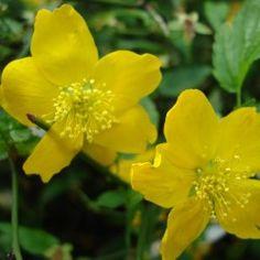 Le Côrete du japon : L'incontournable du jardin ! Ses grandes fleurs jaune lumineux apparaissent d'avril à mai. Ses rameaux, verts, sont d'un très bel effet en hiver, après la chute des feuilles. Le Côrete du Japon 'Golden Guinea' trouvera sa place dans une haie fleurie ou dans un massif. C'est une plante très florifère !Le corête du japon s'associe très bien avec les ►Cognassiers du Japon ainsi que les ►Viburnums Boule de neige.