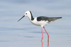 The White-headed Stilt or Pied Stilt is a bird in the Recurvirostridae family. This shorebird is found in Australia, Brunei, Christmas Island, Indonesia, Japan, Malaysia, New Zealand, Palau, Papua New Guinea, and the Philippines.