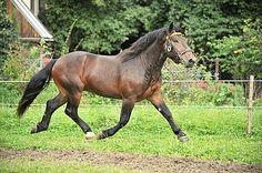Noriker stallion Weissensee Nero XV