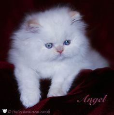 Persian Cat Adoption - Pros and Disadvantages - Loved ones - Pets - #persian - More Cat Breeds at Catsincare.com!