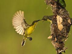 Burung Kolibri - Female by SIJANTO NATURE, via 500px