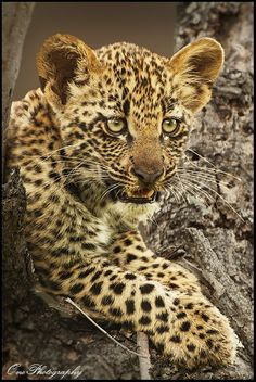 Leopard Cub by Onephotography Photographic Safaris