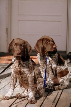 gsp puppies baby ~ gsp puppies + gsp puppies names + gsp puppies for sale + gsp puppies training + gsp puppies black + gsp puppies baby + gsp puppies liver Gsp Puppies, Pointer Puppies, Pointer Dog, Baby Puppies, I Love Dogs, Cute Dogs, Puppy Grooming, German Shorthaired Pointer, Hunting Dogs