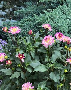 Sincerity Dahlia for your garden! From NGB member Syngenta Flowers Garden Inspiration, Garden Ideas, Summer Bulbs, Growing Dahlias, Bulb Flowers, Cottage Gardens, Summer Garden, Summer Flowers, Beautiful Flowers