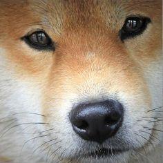Shiba-inu #dog #animal #shiba #inu
