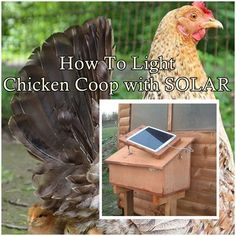 Chicken Coop - - How to Light a Chicken Coop with solar Lighting - Off The Grid - Homesteading Building a chicken coop does not have to be tricky nor does it have to set you back a ton of scratch. Easy Chicken Coop, Chicken Coop Designs, Backyard Chicken Coops, Chicken Coop Plans, Building A Chicken Coop, Chickens Backyard, Urban Chickens, Pet Chickens, Keeping Chickens