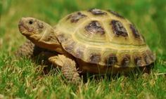 Welcome to Horsefield Tortoise Care Horsefield Tortoise, Red Footed Tortoise, Tortoise House, Tortoise Habitat, Sulcata Tortoise, Russian Tortoise Care, Tortoise Enclosure, Reptiles And Amphibians, Tortoises