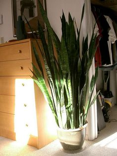 10 best houseplants to de-stress your home & purify the air. {pictured here ~  snake plants}. They don't need much light or water to survive, so they're an easy choice for any corner of your home. The plant absorbs carbon dioxide and releases oxygen during the night (while most plants do during the day), so add one to your bedroom for a clean-air boost.