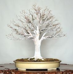 Keyaki (Japanese Zelkova), photo by the Omiya Bonsai Art Museum.
