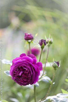 """David Austin rose """"Falstaff"""" - Trädgårdsflow"""