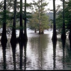 Louisiana cypress trees